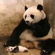 Panda 380